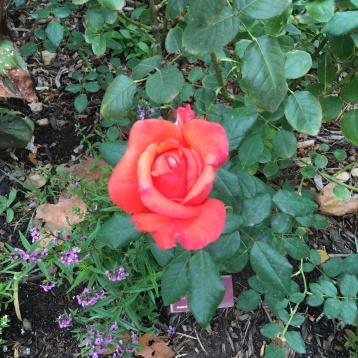 """Lasting peace"" rose blooming"