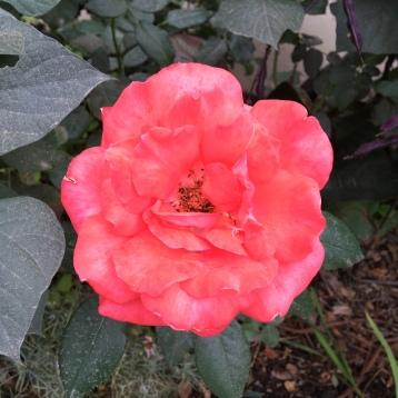 """Lasting peace"" in full bloom"