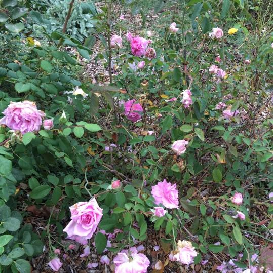 A beautiful rose bush